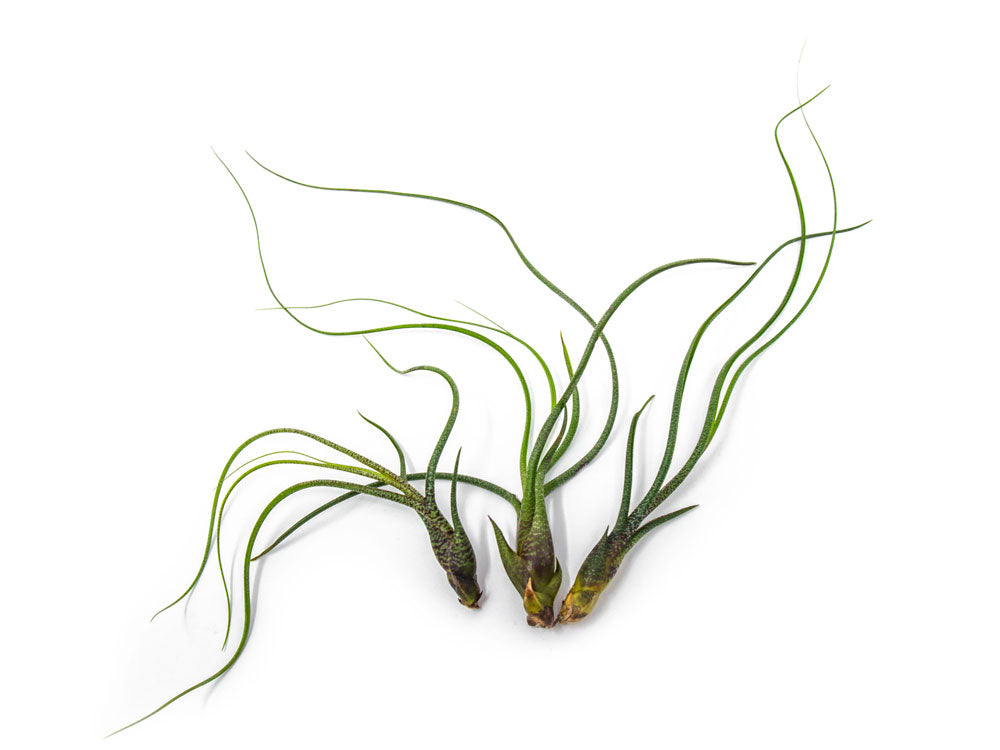 Tillandsia Butzii Air Plants