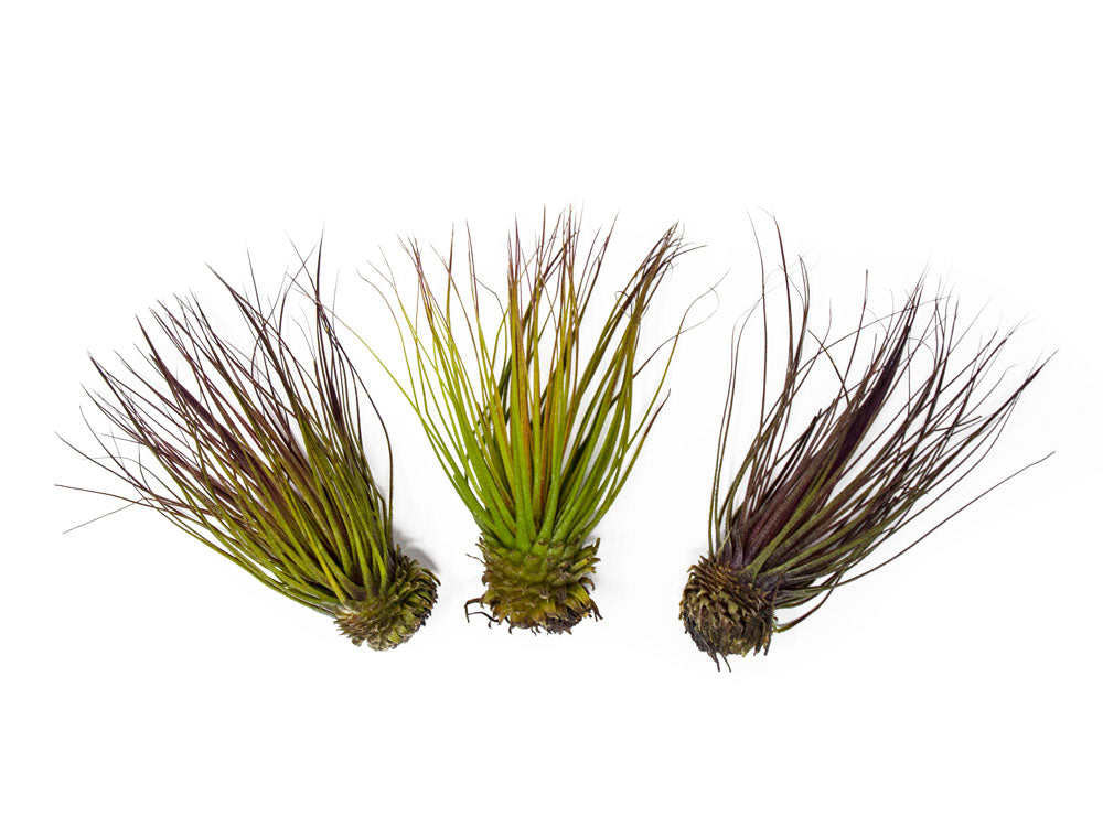 Tillandsia Magnusiana Air Plants