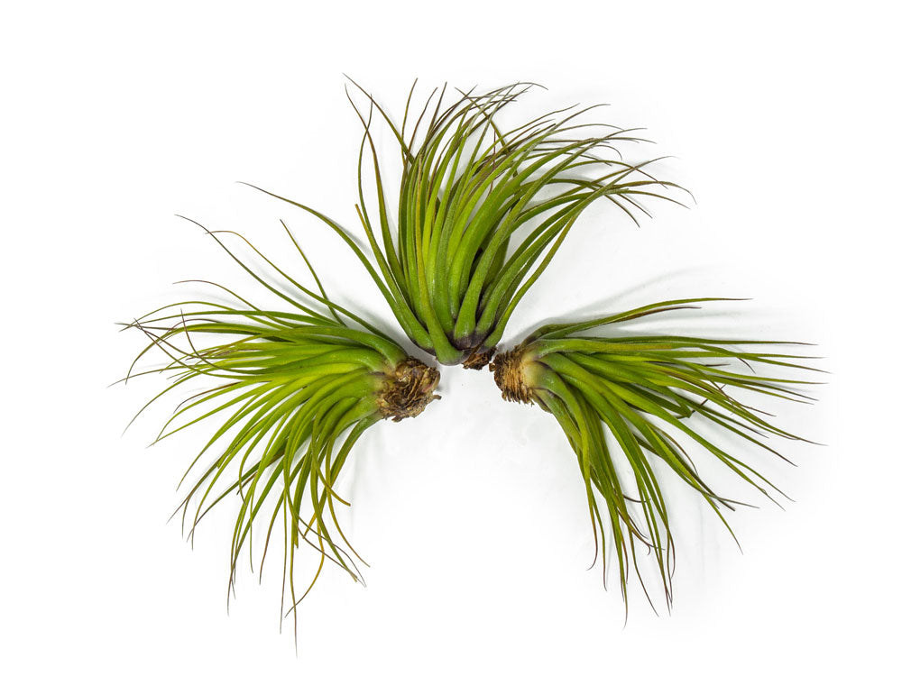 Tillandsia oaxacana Air Plants