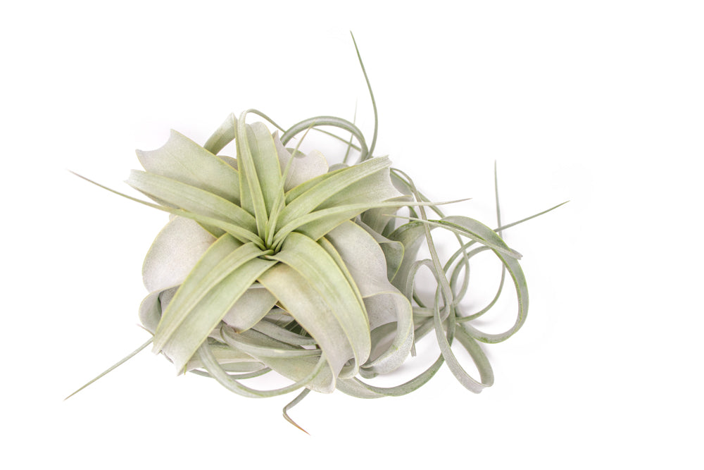 Xerographica-The King of Air Plants! 4-6 Inches in Length
