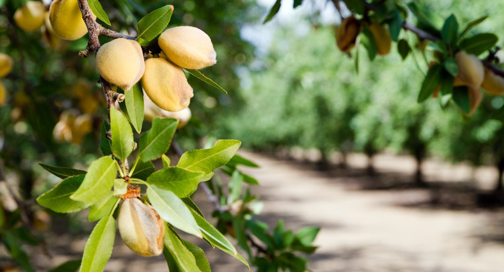 Almonds on a tree: immunity boosting plant-based diet