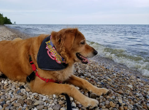 Faith, golden retriever joining Bethany Kirwen on her rock hunting trips