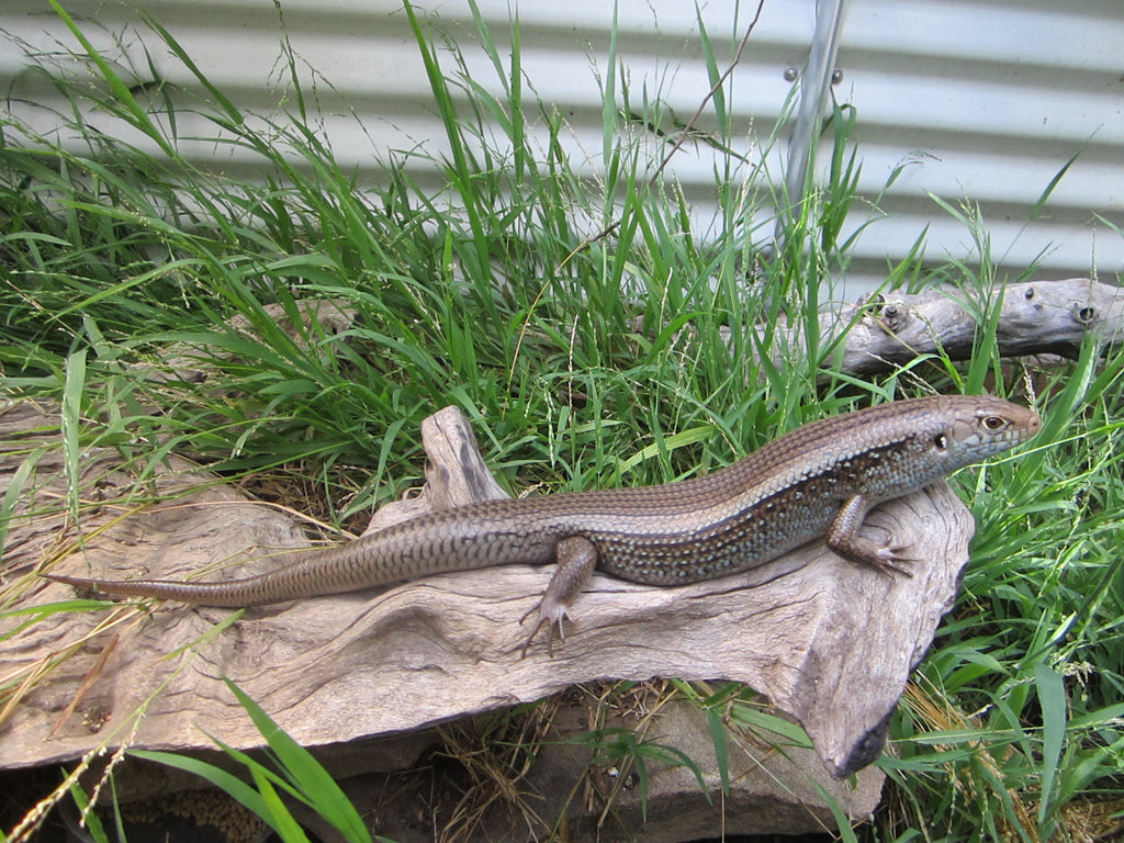 Australian Reptile Season is upon us - tips for getting your first reptile