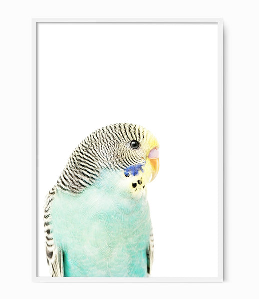 budgie print native australian bird art