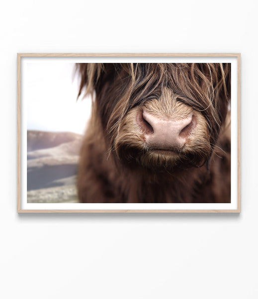 large highland cow art print australia