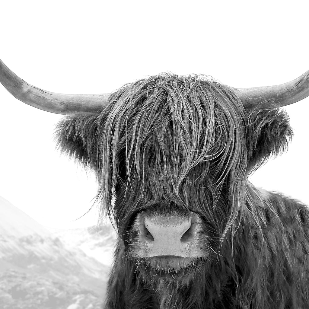 Black and white highland cow photography print
