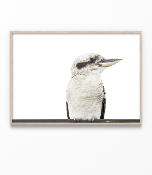 kookaburra print australian animal wall art native australian bird art