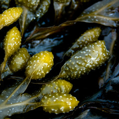 polyphenols in seaweed help reduce redness of the skin