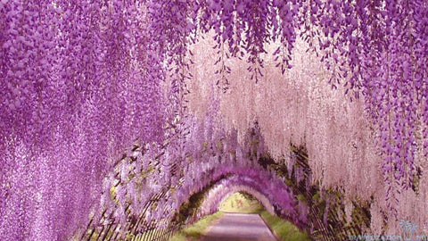 WALKTHROUGH ASHIKAGA FLOWER PARK, JAPAN Walkthrough Ashikaga flower park, Japan
