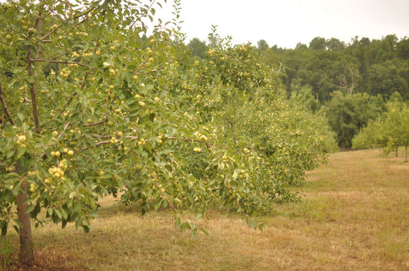 Planning and Planting the Home Orchard