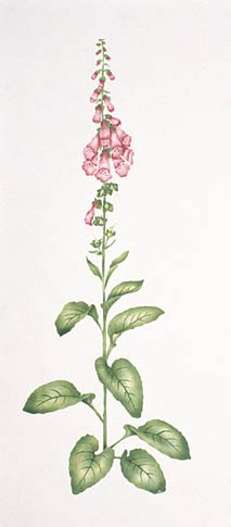 #608 Fancy Foxglove Stencil
