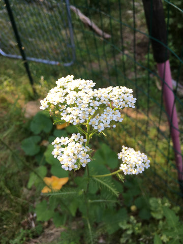 Yarrow flowers with a garden fence in the background