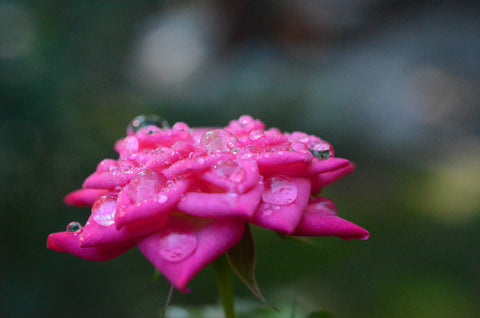 I deep pink rose with dew drops on the petals