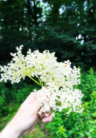 a hand holding a curved foraging knife and a bug bunch of elderflowers