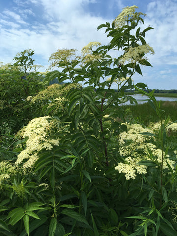 elder elderflower elderberry sambucus nigra remedy herbal