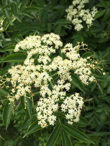 an umbel of white elderflowers surrounded by green leaves