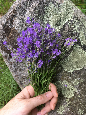 a hand holding a bundle of lavender