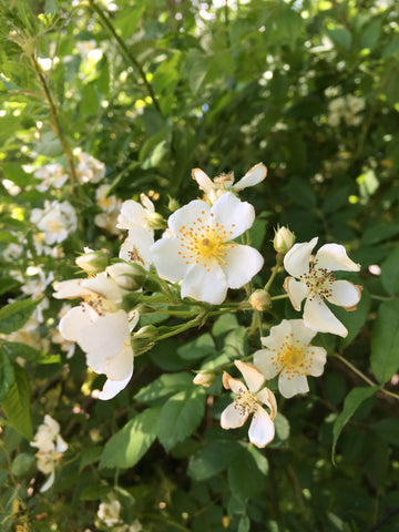 white multiflora roses on a summer day
