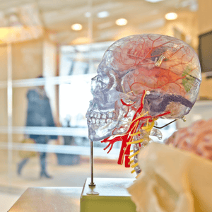 A plastic human head used for research of the human brain.