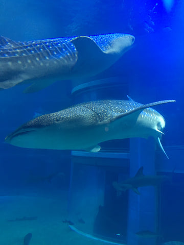 Whale Sharks at Osaka Aquarium