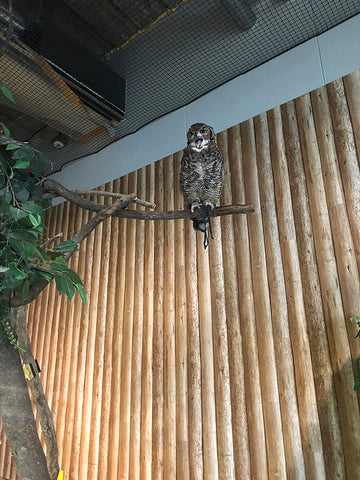 Owl at Tenpozan Anipa