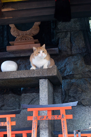 Shrine Cat at Fushimi Inari Taisha
