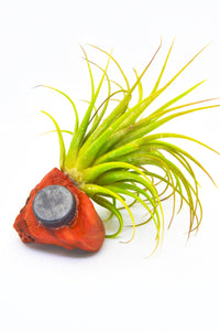 Raw Red Jasper Tillandsia Magnet Beautiful Gemstone Plant Magnet Red Jasper Air Plant Magnet House Warming Gift Unique Red Jasper Air Plant
