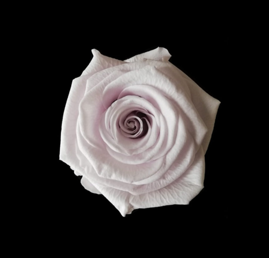 Regular Light Pink Rose
