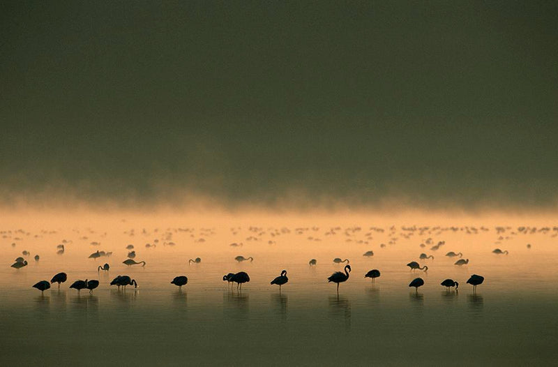 Flamingos early morning light - ArtBuRt