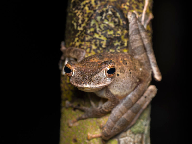 Collett's Tree Frog