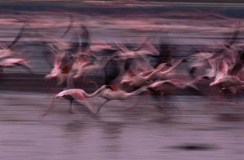 Flamingos Panned - ArtBuRt