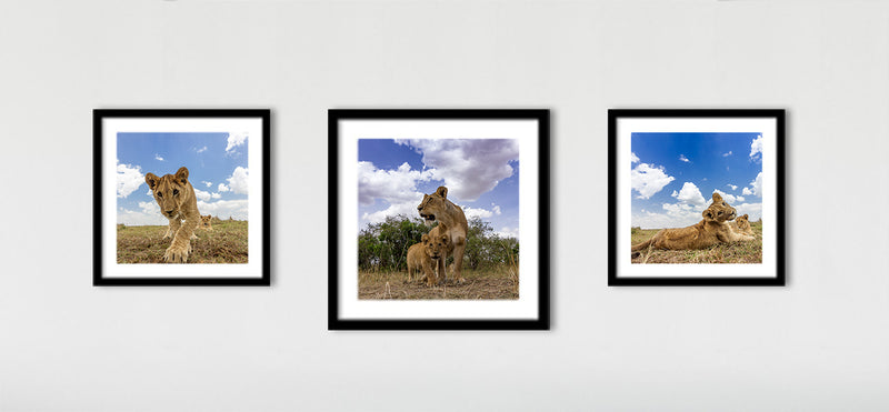 The Lion Triptych