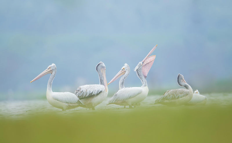 A Gathering - Beautiful Pelican birds - ArtBuRt