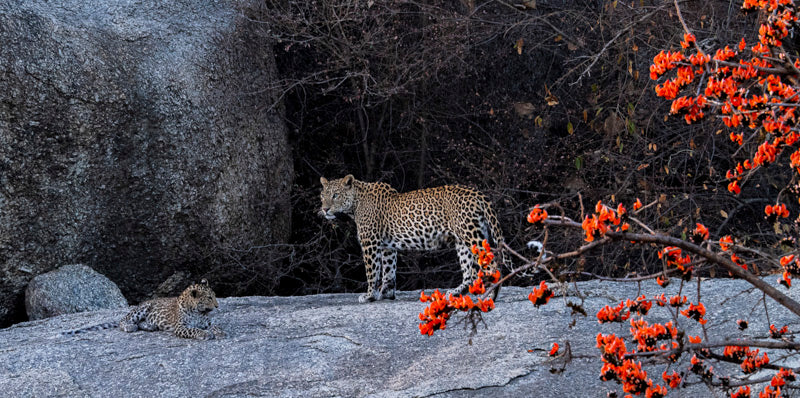 The leopard and the flame of the forest