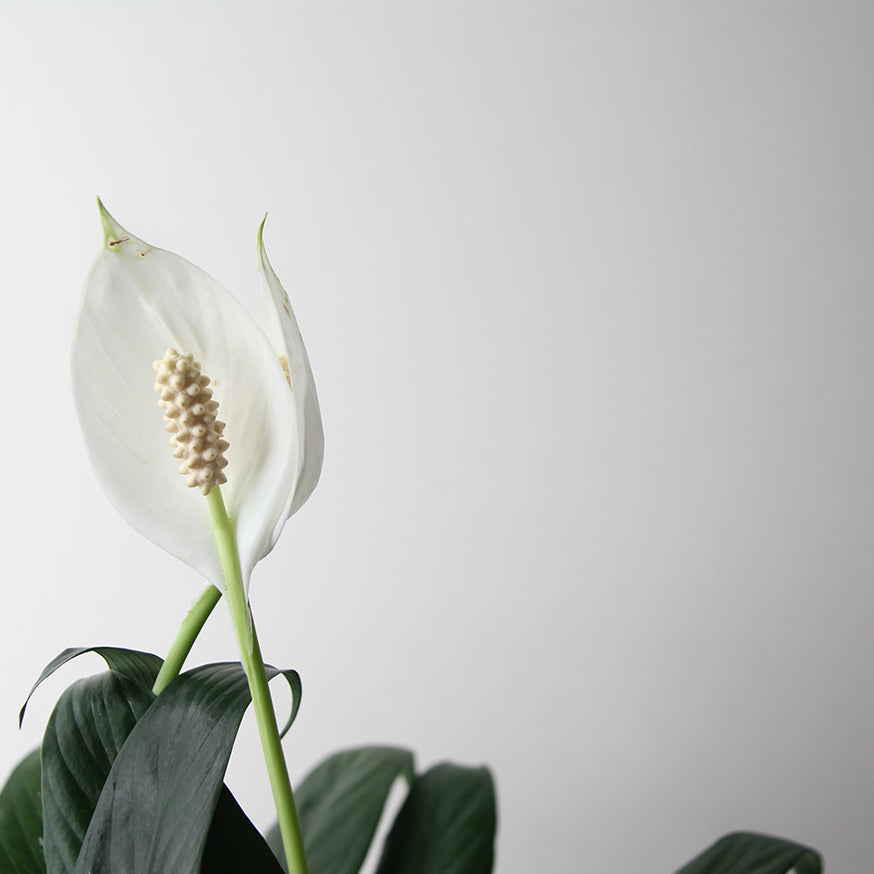 HARVEST TOWN - PEACE LILY