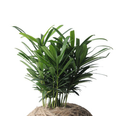HARVEST TOWN - PARLOR PALM