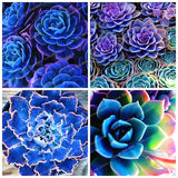 100pcs Blue Succulents Witchford Lithops Cactus seeds Beautiful Stone Flower seeds Pseudotruncatella Perennial for Home Garden