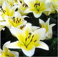 Cheap Perfume LilySeeds Mixing Different Varieties 120PCS Yellow White Red Pink Purple Lily Flower Garden Plant
