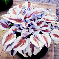 200pcs/pack Hosta bonsai Perennials Plantain beautiful  Lily Flower White Lace Home Garden Ground Cover Plant