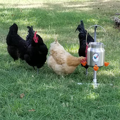 How to Train Your Chickens To Use A Cup Waterer / Drinker - Love My