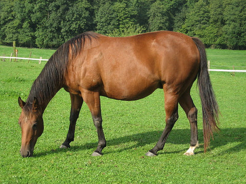 How to Prevent Gastric Ulcers In Horses