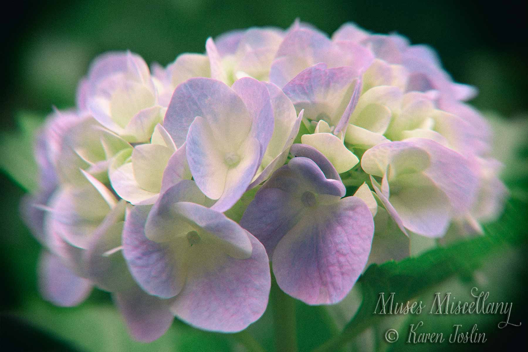 Purple hydrangeas, color photograph with toy camera effect.