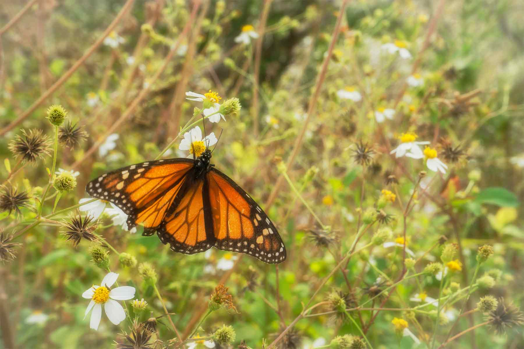 Monarch butterfly on wildflower at St. Marks National Wildlife Refuge in Florida
