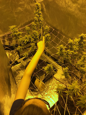 Megan setting up trellis netting in a hydroponic grow tent