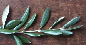 Olive Leaves & Blossoms