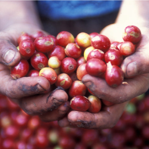 Image of Coffee beans before drying and roasting
