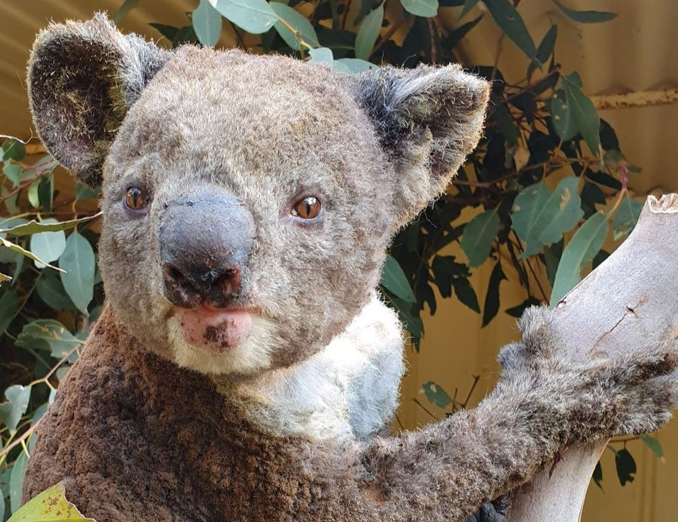 An upclose image of a cute koala bear at a rehabilitation center.