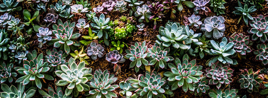 Succulent Plant Wall