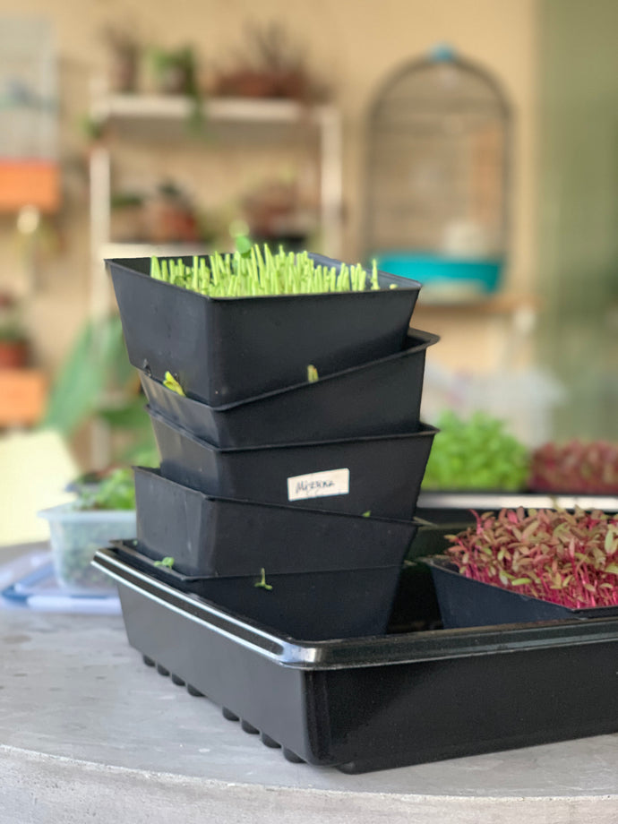 Harvesting And Storing Your Microgreens