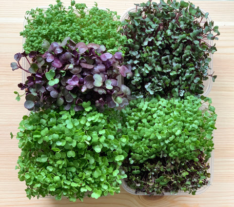 learn how to grow microgreens, singapore green club, school, microgreen project, urban farming in school